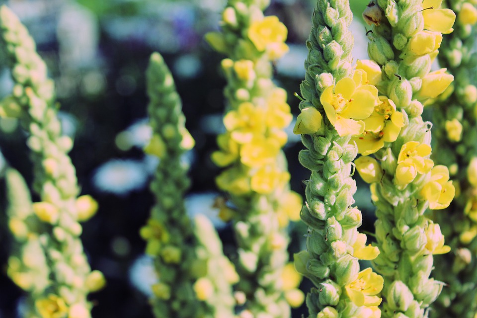 Mulleins, Verbascum, Nature, Flower, Plant, Yellow