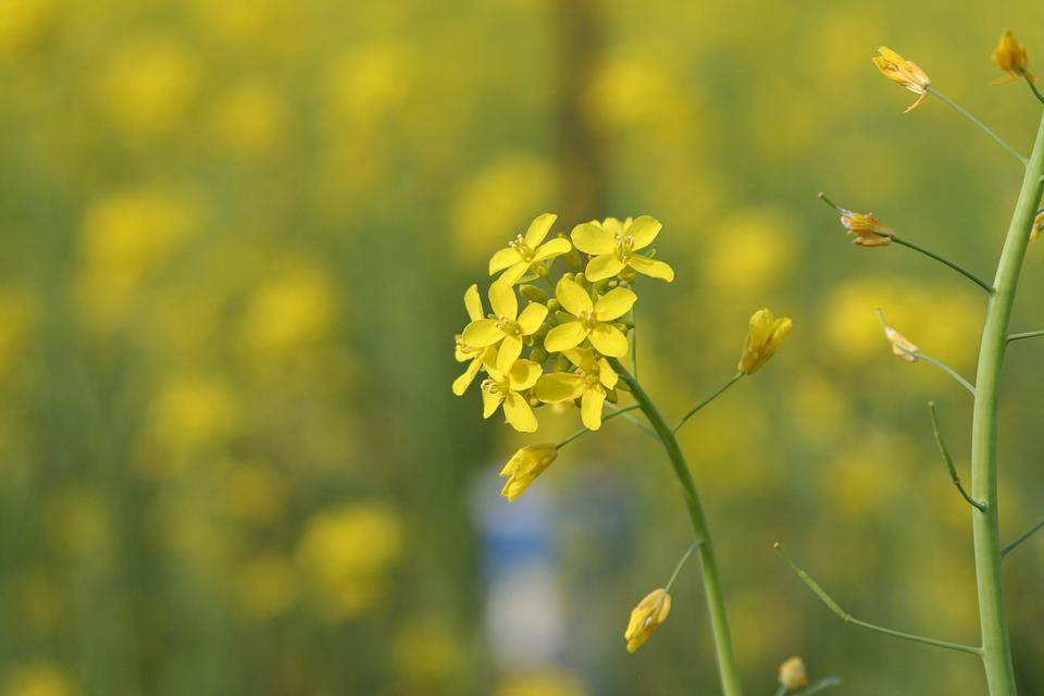 Sinapis Aiba, Mustard, Flower, Blossom, Blooming, Plant
