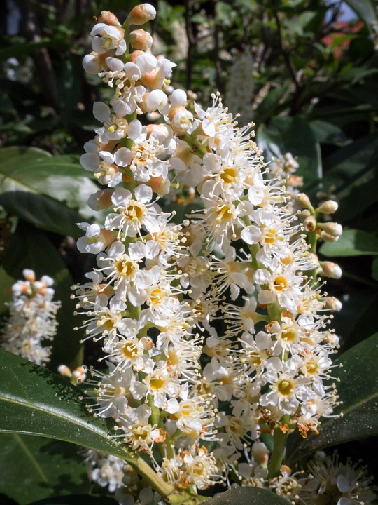 Cherry Laurel, Blossom, Bloom, Flower, Nature, Plant