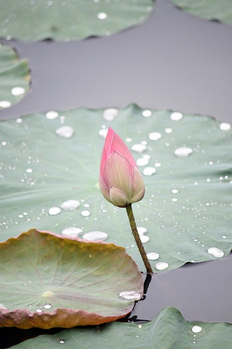 Lotus, Flower, Bud, Nature, Plant, Zen, Lily, Bloom