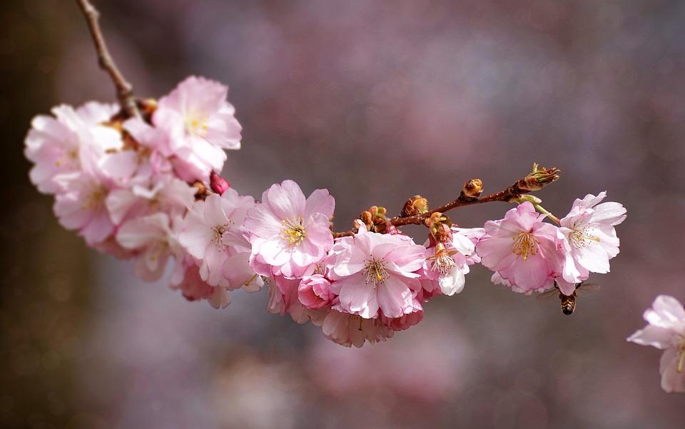 Cherry Blossom, Flower, Plant, Nature, Cherry Wood