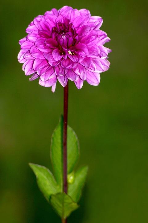 Flower, Dahlia, Plant, Purple, Nature