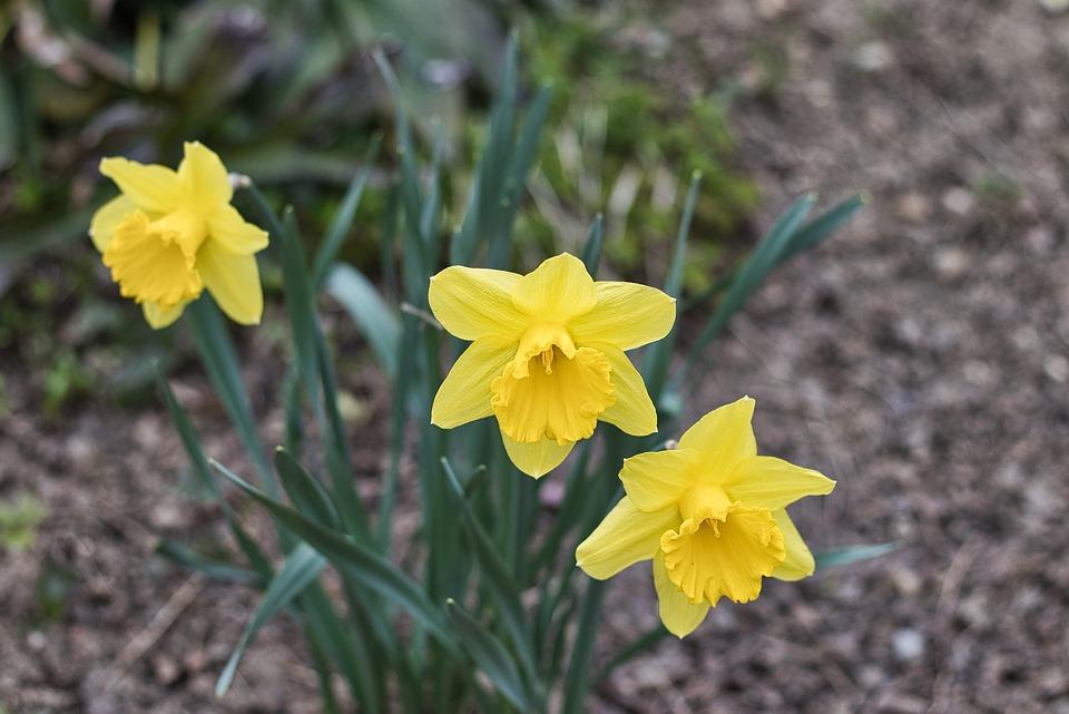 Nature, Plant, Flower, Narcissus Pseudonarcissus