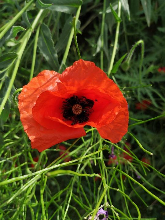 Nature, No Person, Plant, Summer, Poppy, Flower, Garden