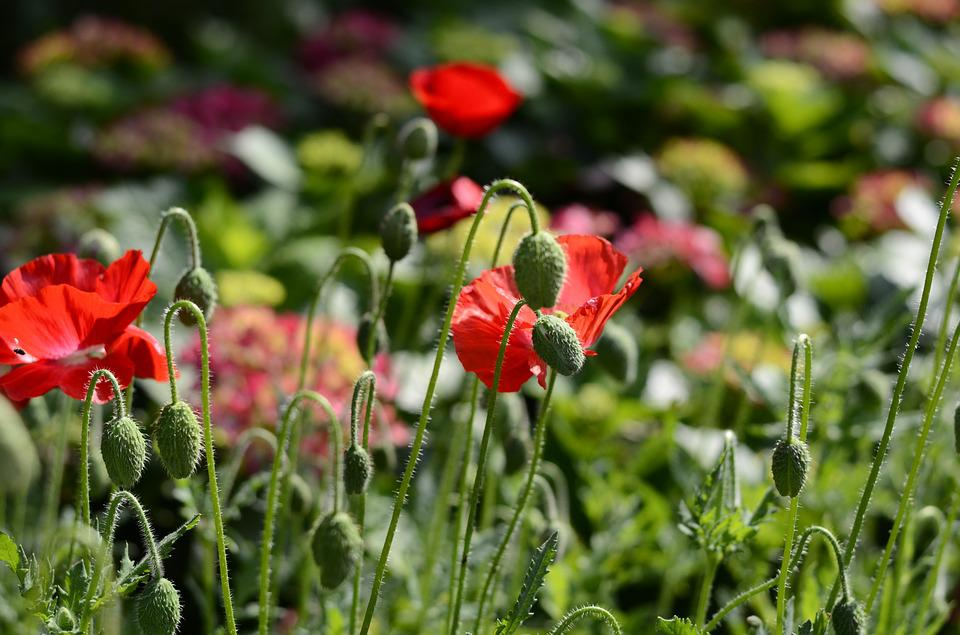 Flower, Red Flowers, Plant