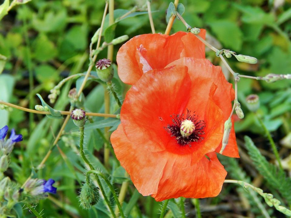 Poppy, Flower, Plant, Red