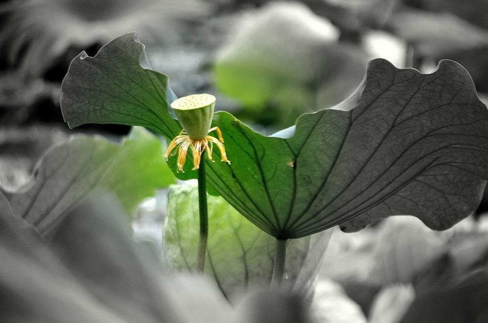 Lotus, Flower, Water, Plant, Stem, Leaf, Pod, Seed