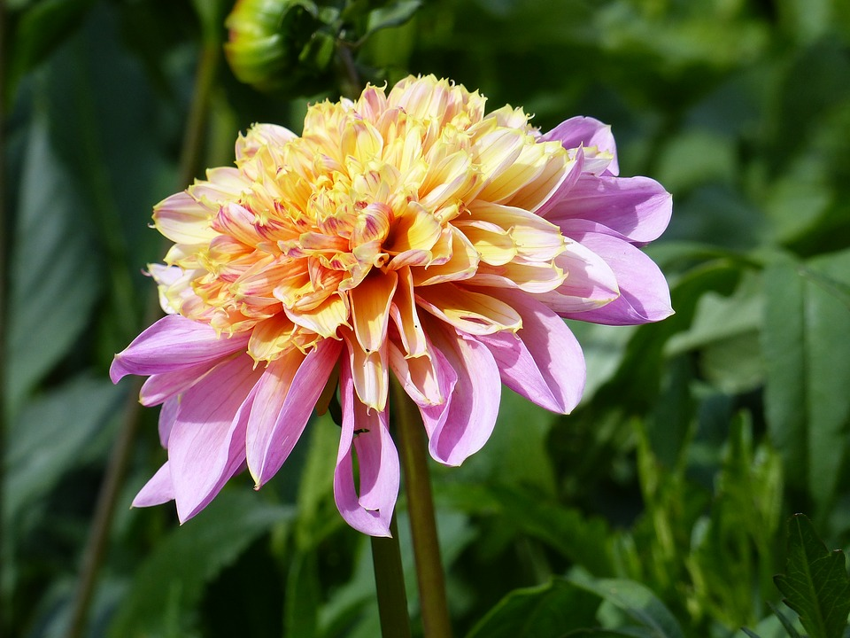 Dahlia, Flower, Plant, Colors, Summer, Garden, Green