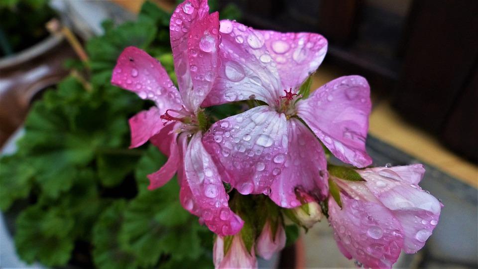 Flower, Nature, Plant, Garden, Summer, Outdoor