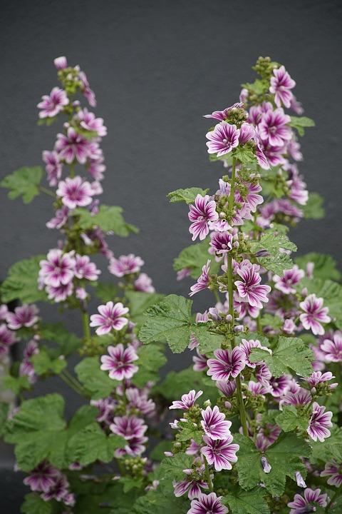 Summer, Hollyhock, Alcea, Flower, Garden, Plant, Pink
