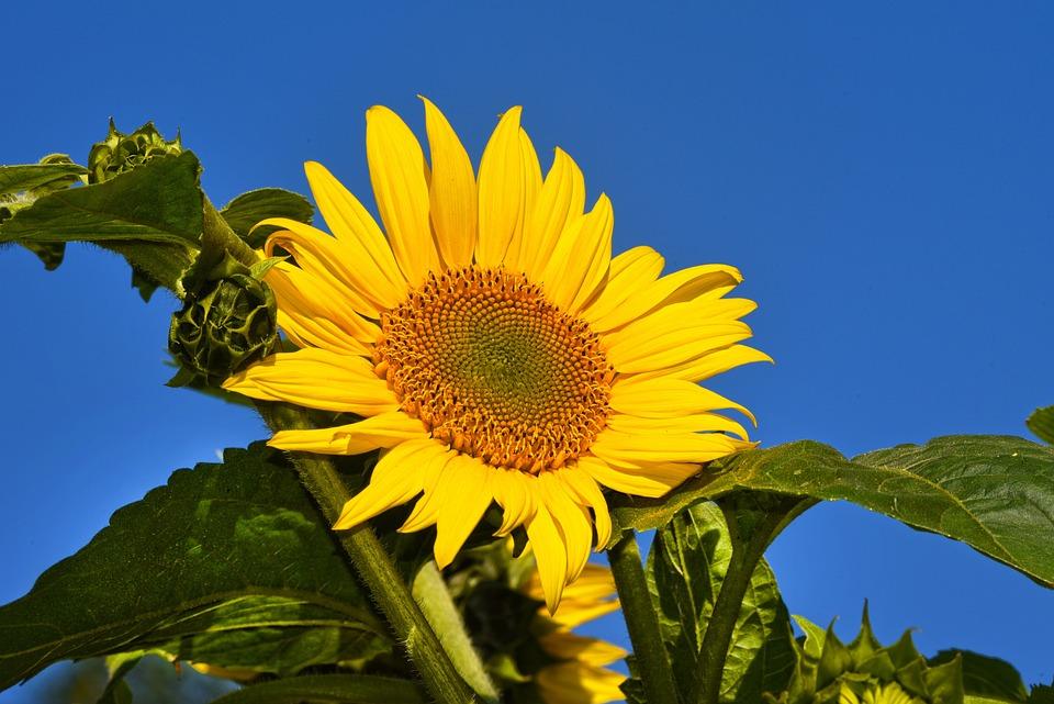 Sunflower, Flower, Plant, Helianthus, Common, Tall