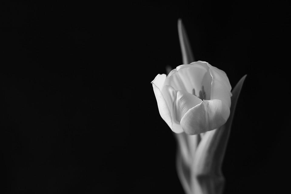 Tulip, Tulips, Flower, Black And White, Plant
