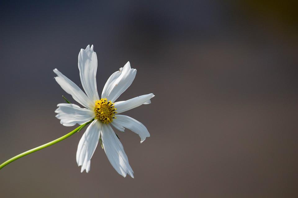 White Flower, Nature, White, Plant, Flower, Summer