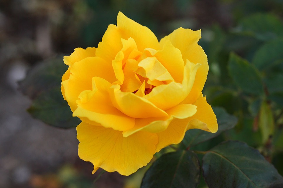 Rose, Bloom, Flower, Plant, Nature, Yellow