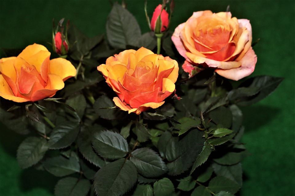 Flower, Plant, Nature, Garden, Petals, Yellow, Red