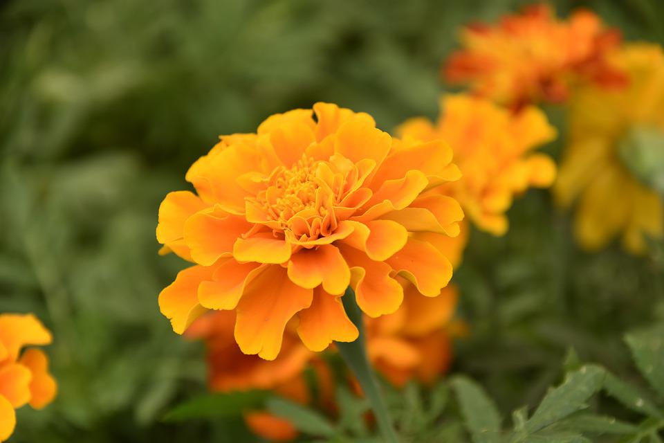 Flower, Carnation Of India, Plants, Flower Solid