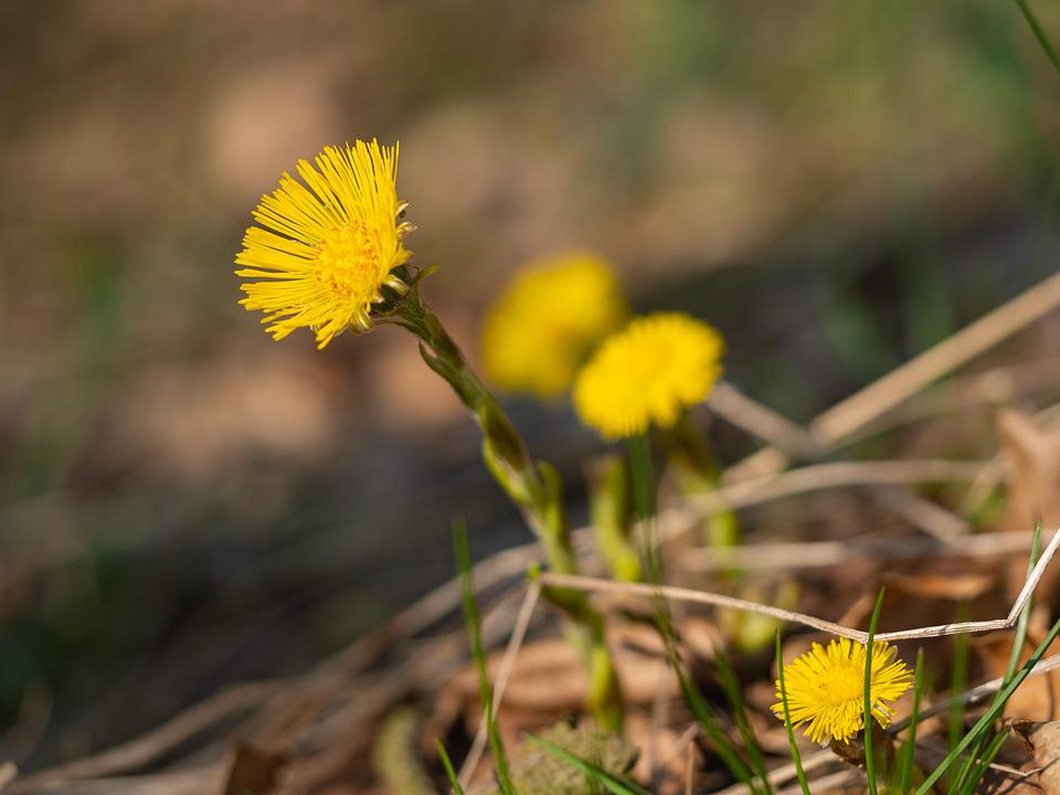 Coltsfoot, Yellow, Nature, Flora, Flower, Plants