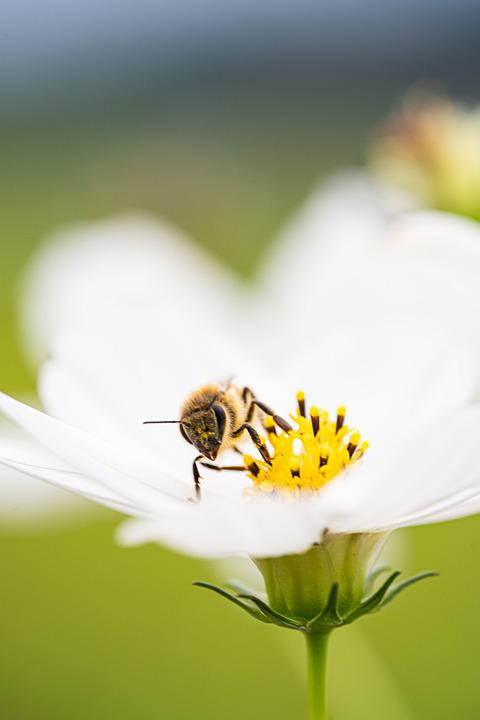Cosmos, Bee, Flower, Nature, Flowers, Plants, Insects