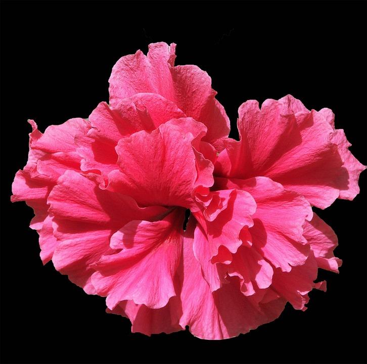 Flower, Pink, Nature, Spring, Flora, Garden, Plants