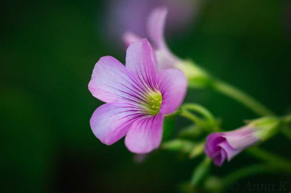 Flower, Macro, Plants, Morning Glory, Purple Flower