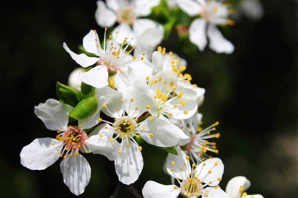 Mirabelka, Flowers And Mirabelle Plums, Plum, Flower