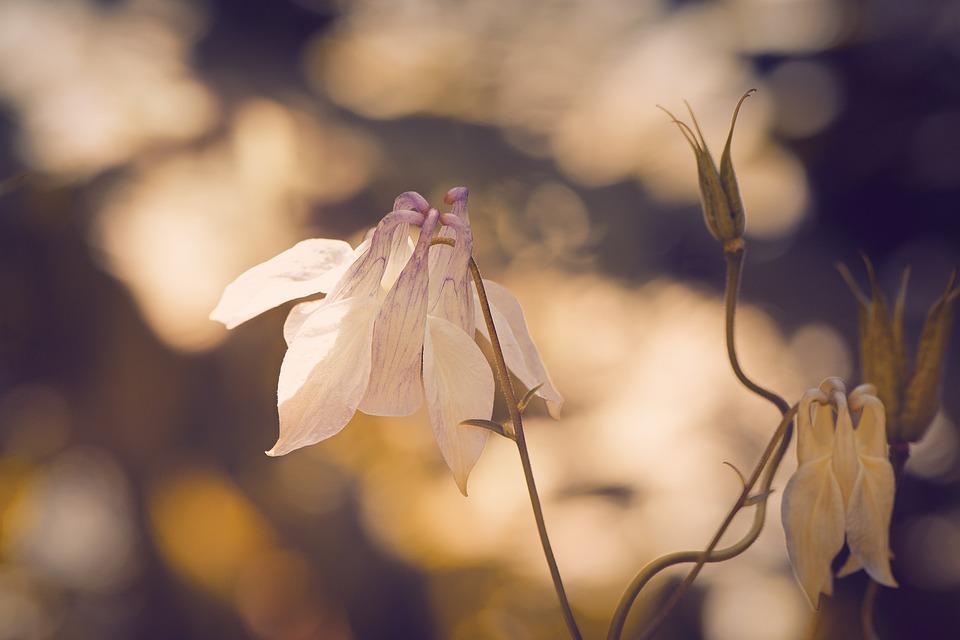 Columbine, Pointed-akelei, Pointed Flower, Flower