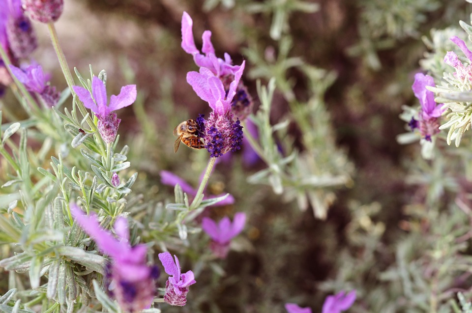 Lavender, Bee, Nature, Insect, Pollen, Flower, Animal