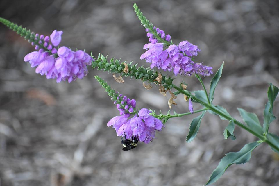 Bee, Flower, Pollen, Bloom, Garden, Spring, Lavender