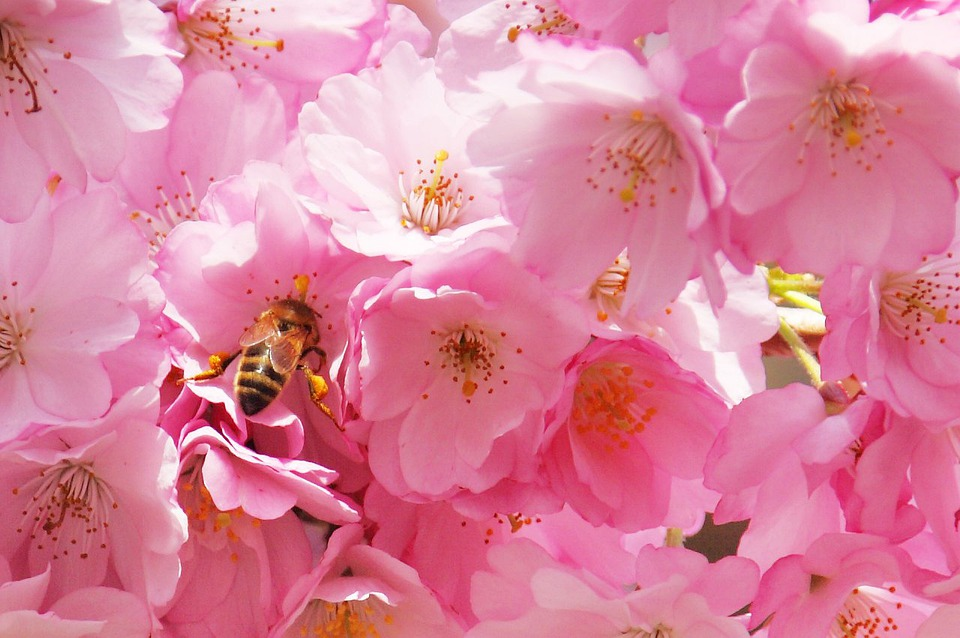 Bee, Tree, Flower, Blossom, Pollination, White, Insect