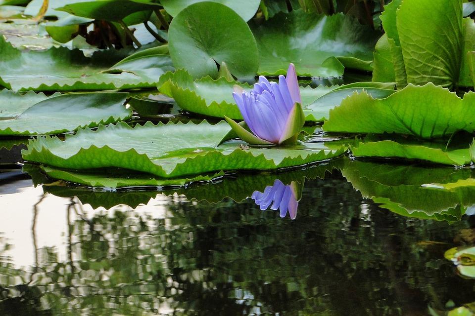 Nymphaea Alba, Lotus, Summer, Reflection, Flower, Pool