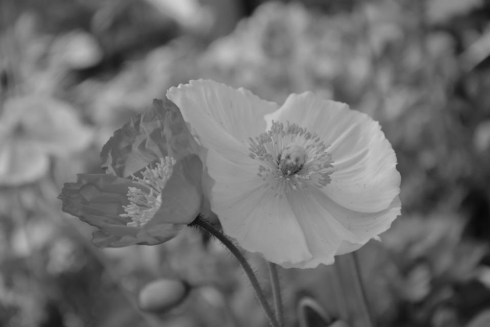 Flower, Black And White Photo, Flower Poppy, Nature