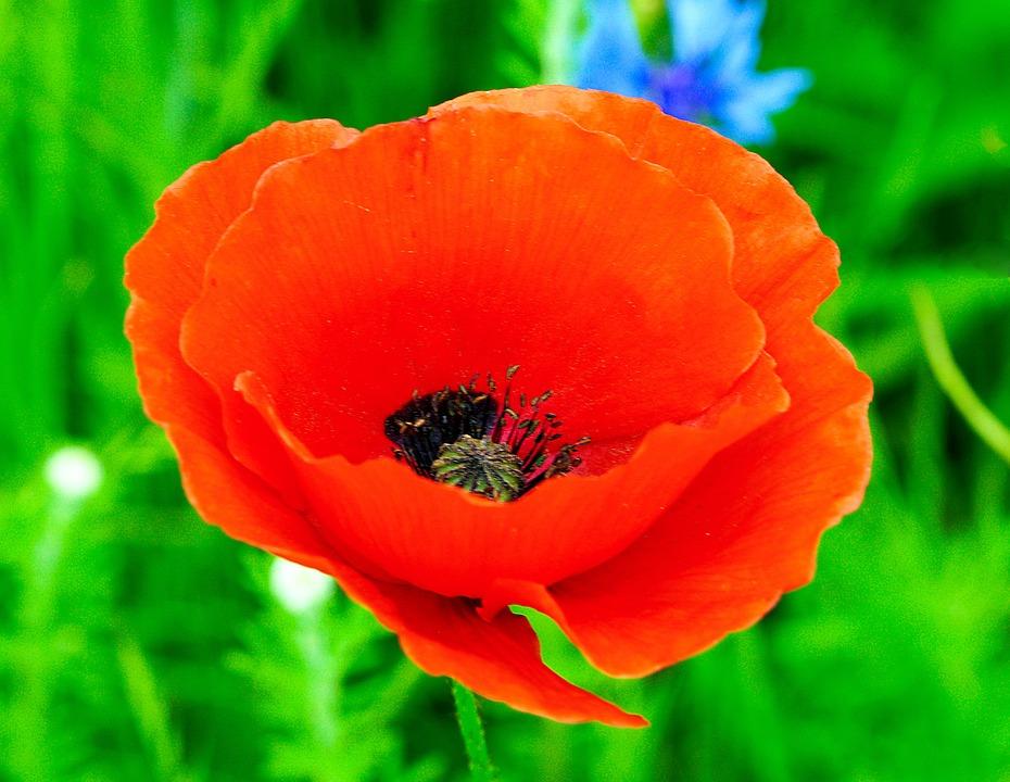 Flower, Poppy, Blossom, Bloom, Flora, Nature