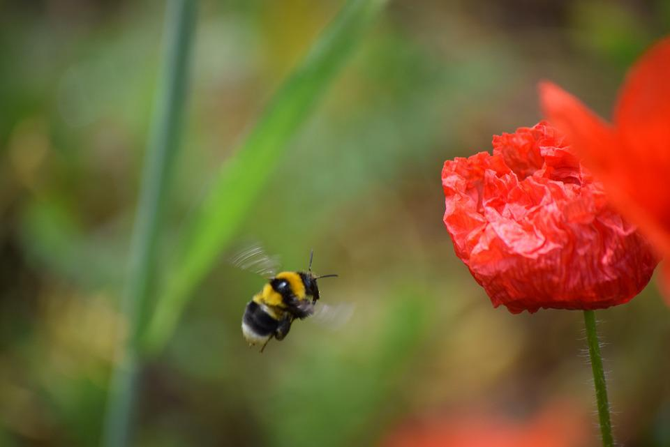 Poppy, Spring, Bee, Red, Nature, Flower, Insect