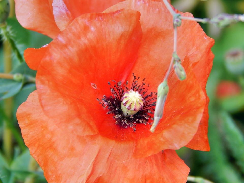 Poppy, Plant, Red, Flower