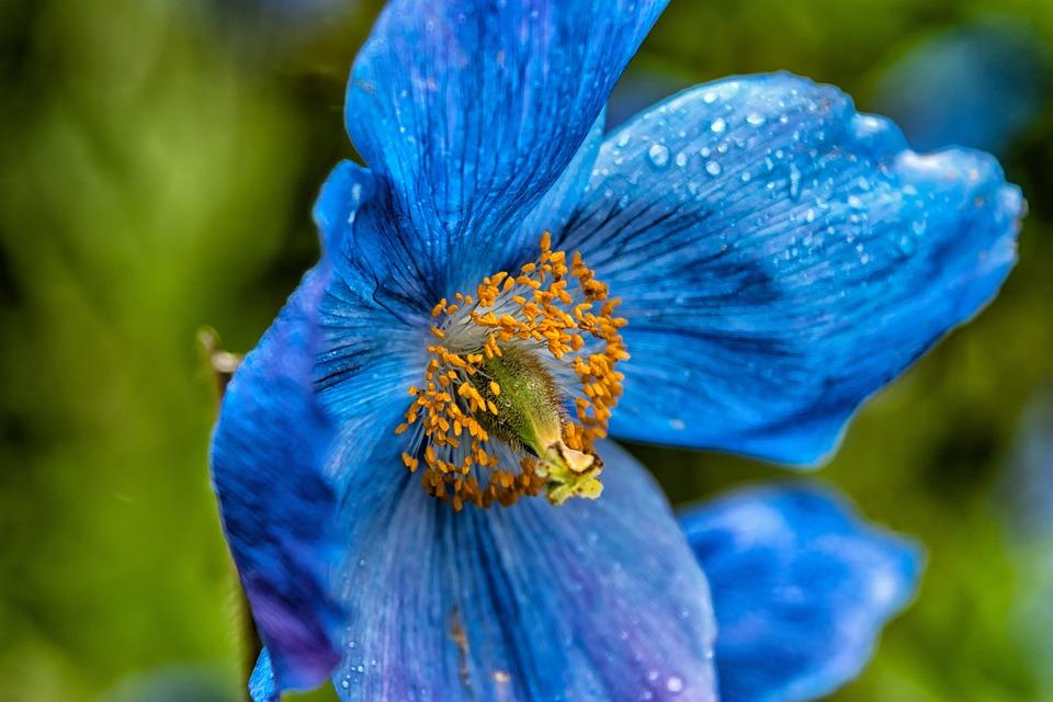 Free photo flower poppy translucent poppy blue poppy max pixel blue poppy flower poppy translucent poppy mightylinksfo