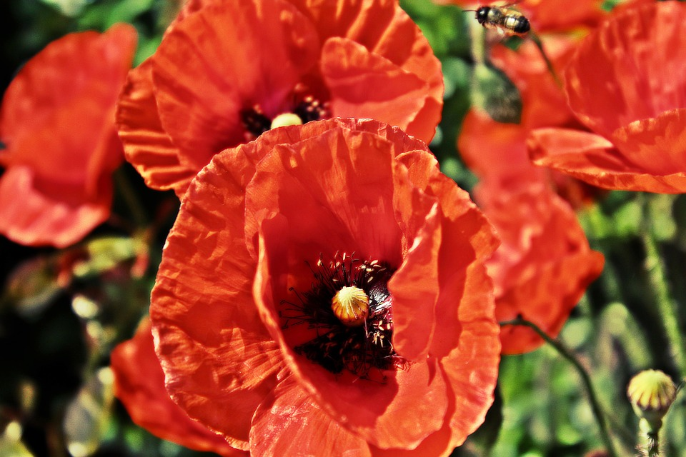 Poppy, Hdr, Flower, Bee, Wild Flowers, Blossoms