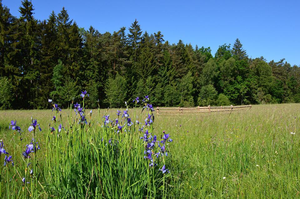 Iris, Siberian Iris, Flower, Meadow, Protected, Rare