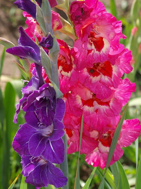 Flower, Blossom, Bloom, Plant, Pink, Purple