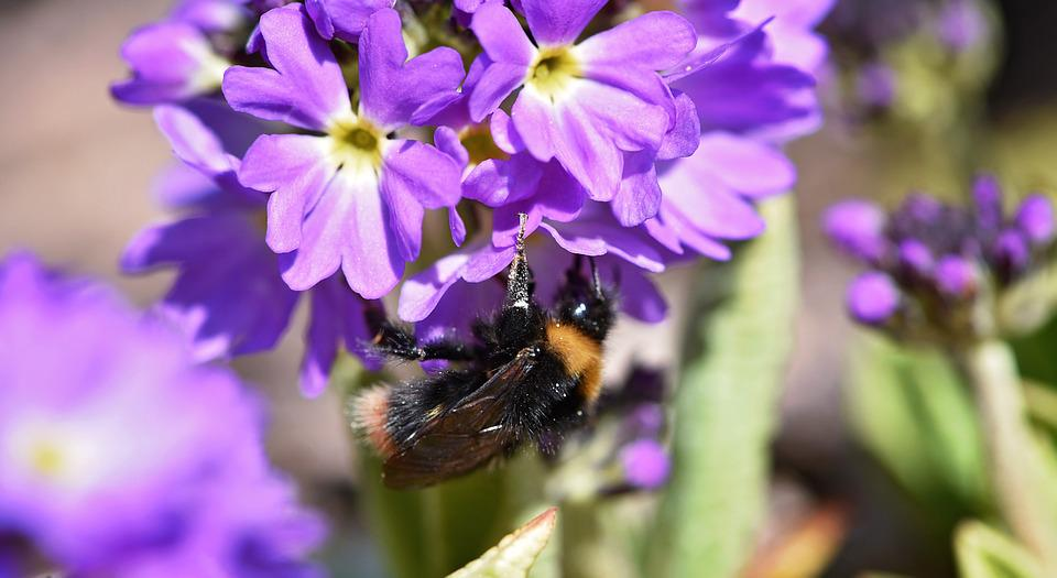 Hummel, Insect, Nature, Flower, Drumstick, Purple