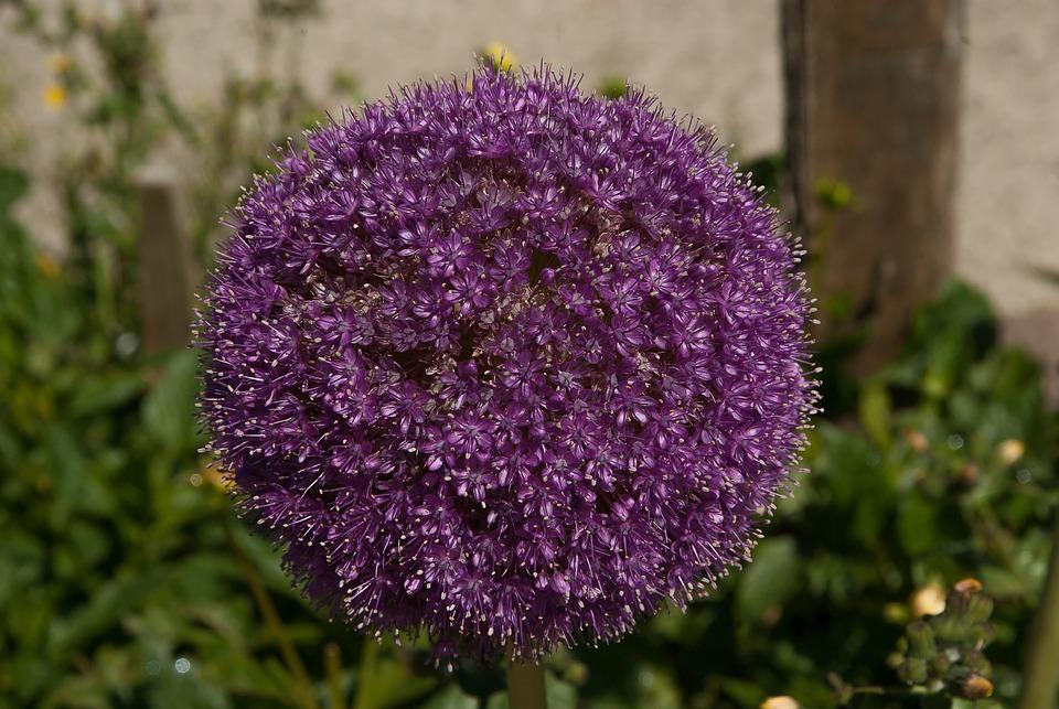 Flower, Allium, Garlic Giant, Purple Flower
