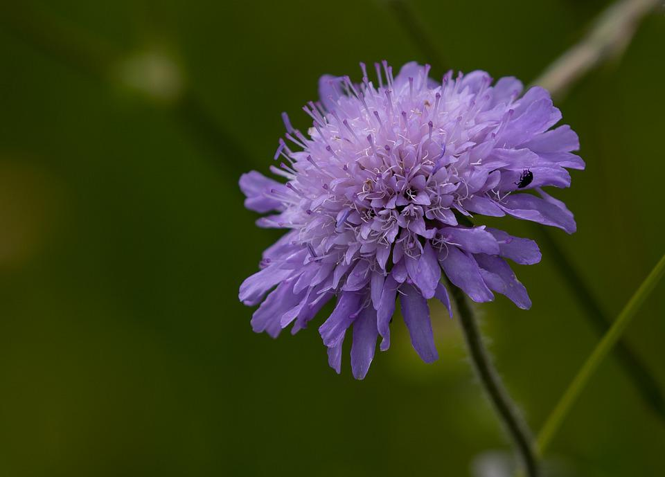 Field Scabious, Flower, Knautia Arvensis, Purple Flower