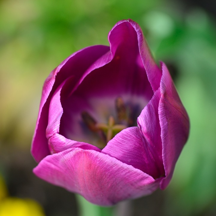 Tulip, Flower, Flowers, Purple, Garden