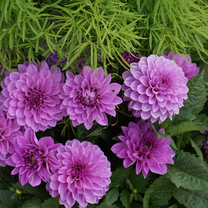 Dahlia, Purple, Pink, Flower, Ornamental Plants