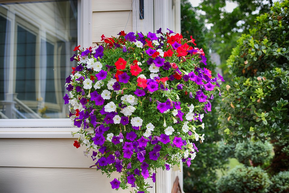 Petunia, Flower, Purple, White, Red, Hanging Plant