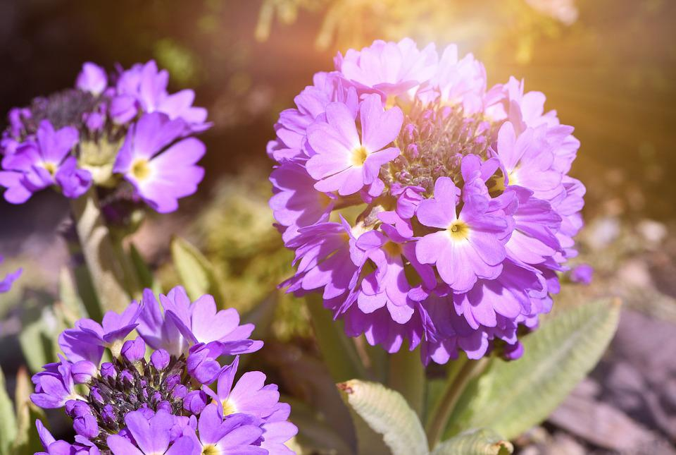 Flower, Plant, Primrose, Drumstick, Flowers, Purple