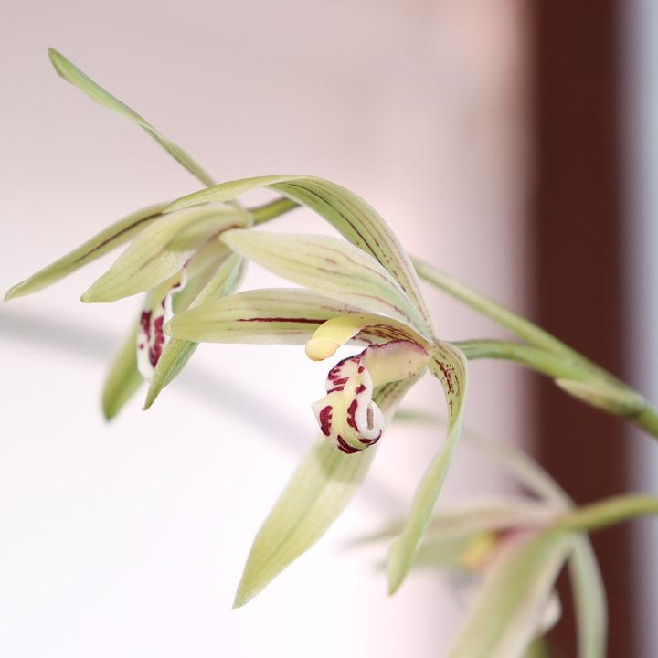 Orchid, Flower, White, Red, Purple, Macro, Leaf, Leaves