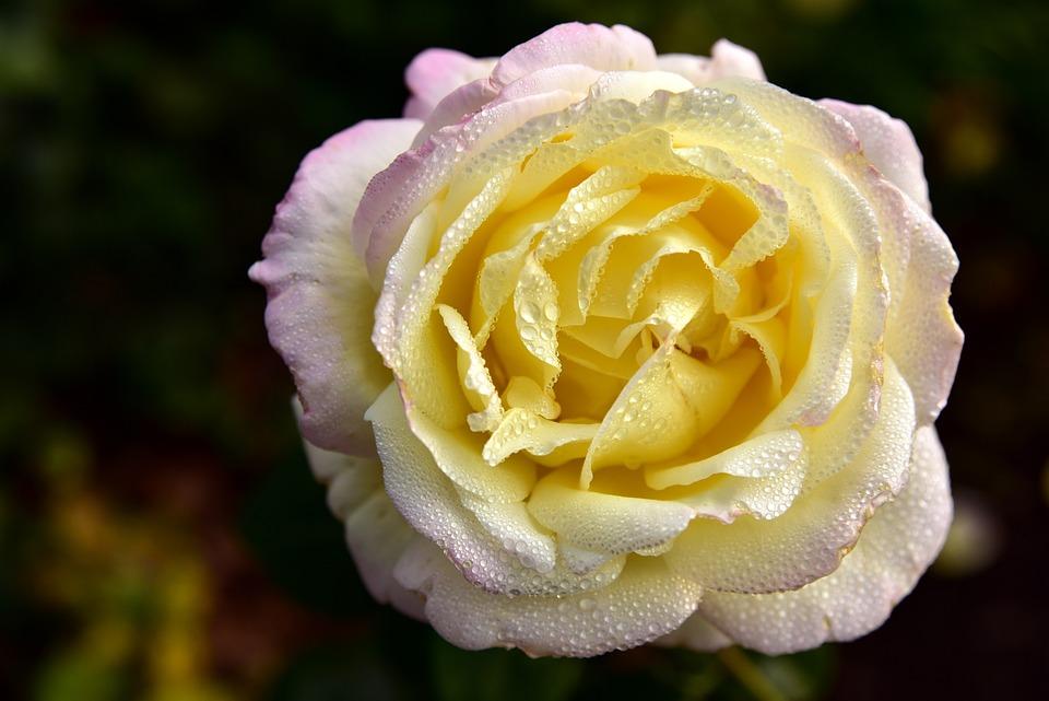 Rose, Blossom, Bloom, Petals, Flower, Yellow, Dew, Rain