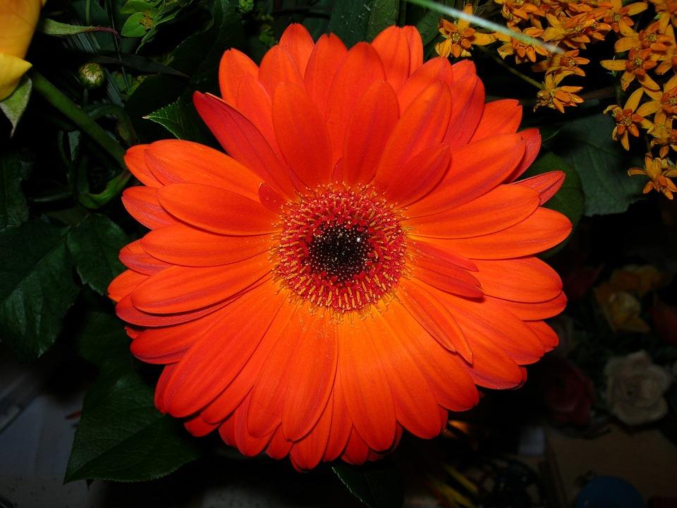 Flower, Gerbera, Red, Blossom, Bloom, Close