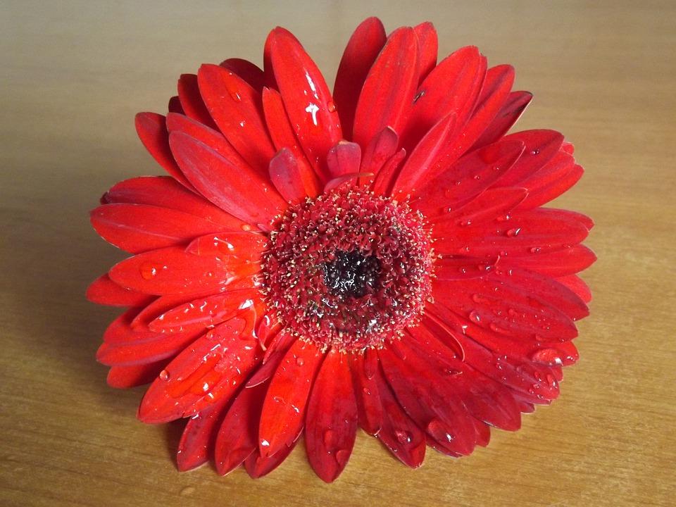 Flower, Gerbera, Red, Dew, Water, Drops
