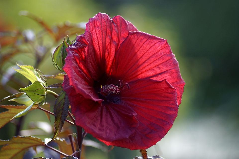 Hibiscus, Rosa Sinensis, Red Hibiscus, Flower, Red